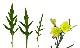 ルッコラセルバチコ(ワイルドルッコラ・多年草ルッコラ)【ハーブ苗9cmポット/3個セット】【品種で選べるハーブ苗】【即出荷/送料込み価格】