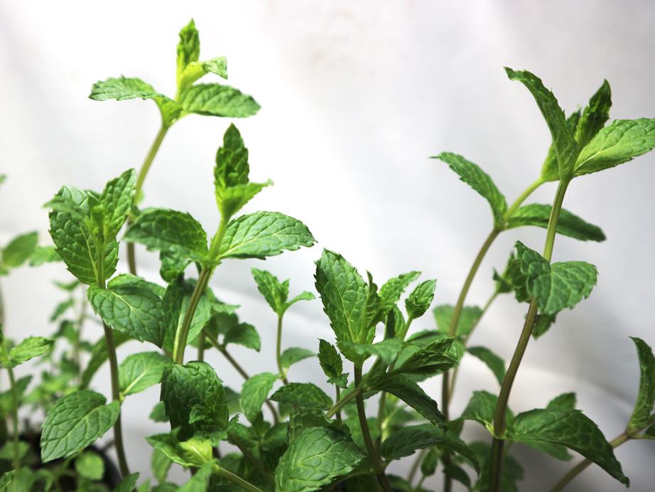 「ペパーミントホワイト」ハーブBN硬質12cmポット大苗 自社農場から新鮮直送!!通年植付け可能!大苗なのでこのまま水をやるだけでも、そこそこの大きさに育てることが出来ます!本格的な収穫の為には大きな鉢か花壇に植え付けて下さい。【2個セット】【即出荷】