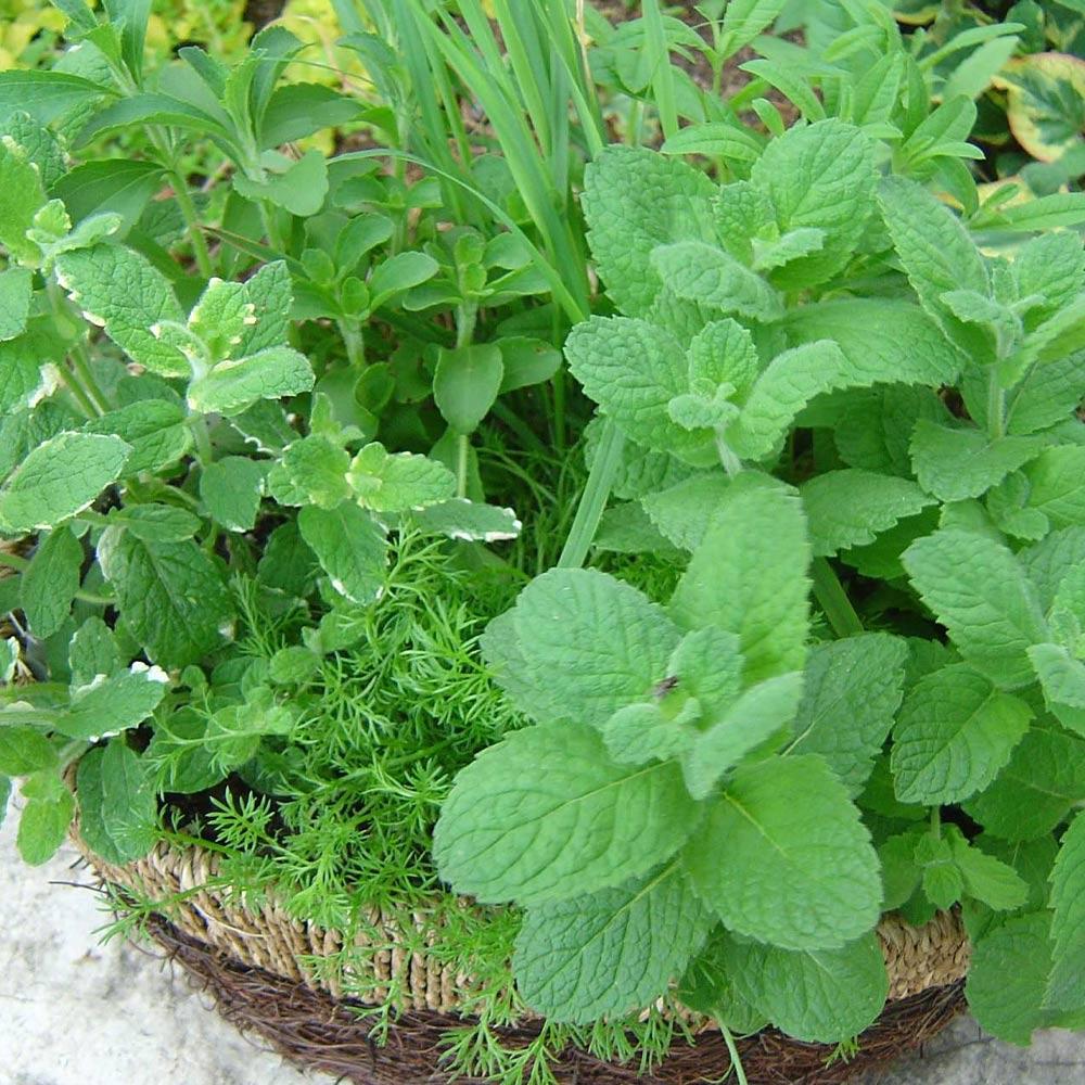 「アップルミント」ハーブBN硬質12cmポット大苗 自社農場から新鮮直送!!通年植付け可能!大苗なのでこのまま水をやるだけでも、そこそこの大きさに育てることが出来ます!本格的な収穫の為には大きな鉢か花壇に植え付けて下さい。【2個セット】【送料無料】