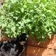 【送料無料】キャットニップ 10.5cm 4個セット【おうちで簡単!育てやすい10.5cmポットハーブ苗シリーズ!】根張り・大きさ・選別が良いので、育てやすい!生育簡単で初心者にもオススメのハーブシリーズです!ガーデニングや家庭菜園に!