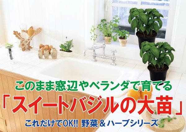 【送料無料】スイートバジルの大苗【野菜苗18cm硬質ポット大苗1個/肥料付】これだけでOKシリーズ!これが本当のバジルの香り!ジェノベーゼスイートバジル。このまま室内窓辺や戸外のベランダで育てられる!バジルが生えた状態でお届け。窓辺 キッチン 何度も収穫