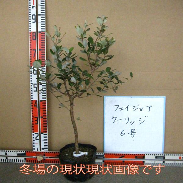 フェイジョア・クーリッジ:花も美しい庭園向き果樹 18cmポット:樹高約60cm  【送料込み価格】【九州圃場より直送】