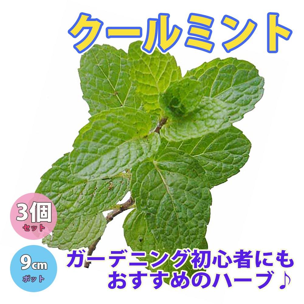 クールミント【ハーブ苗9cmポット/3個セット】【即出荷/送料無料】