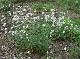 ホワイトキャンピオン(シレネ ラティフォリア)【ハーブ苗9cmポット/3個セット】【送料無料】