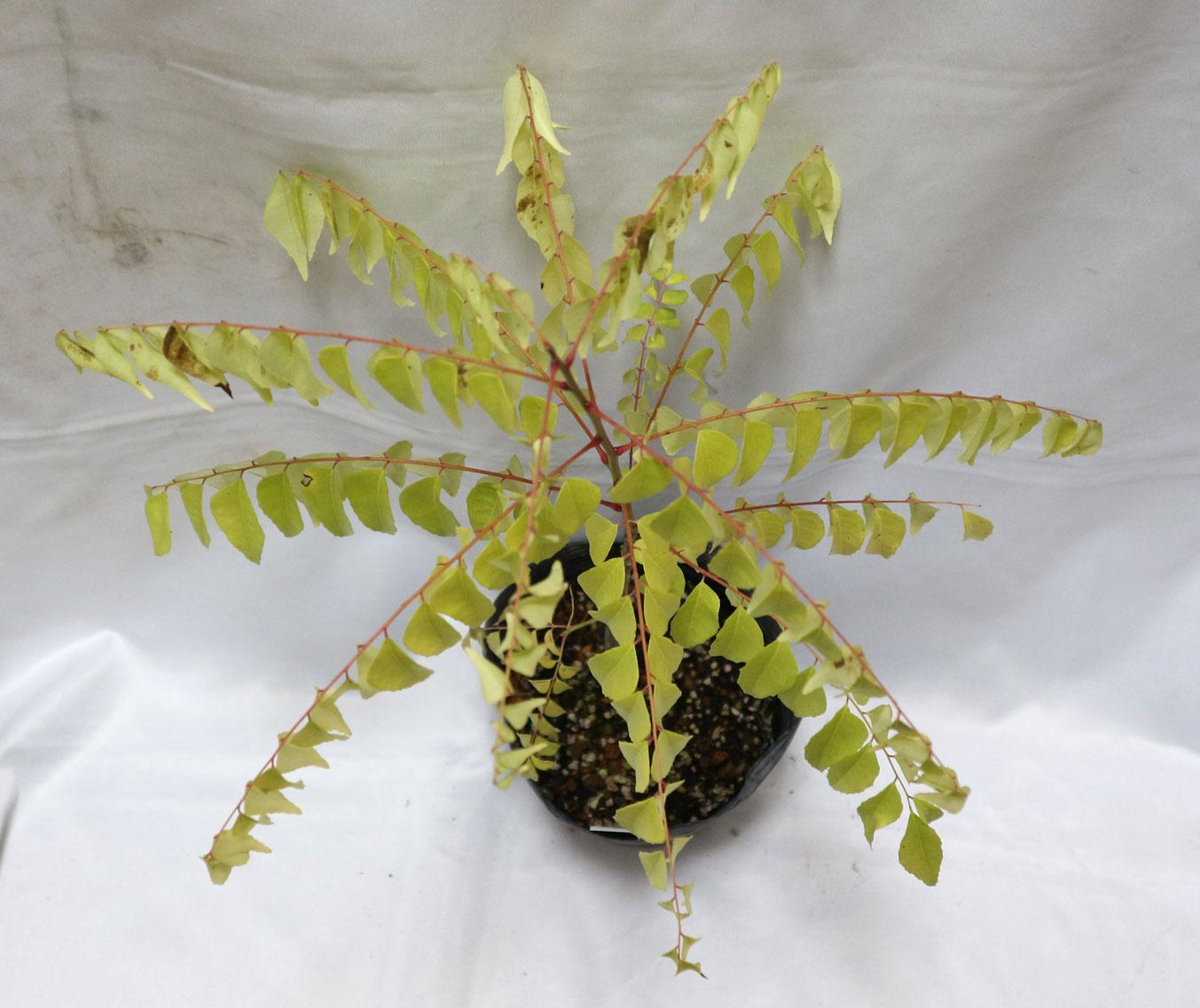「カレーリーフ(オオバゲッキツ・カレーの木)」12cmポット大苗!!希少なカレーリーフ入荷しました!通年植付け可能!ミカン科ゲッキツ属の常緑樹!カレーの風味付けに欠かせないハーブ!是非フリッシュリーフを使って調理してください。冬場は画像のように葉が黄変していますが暖