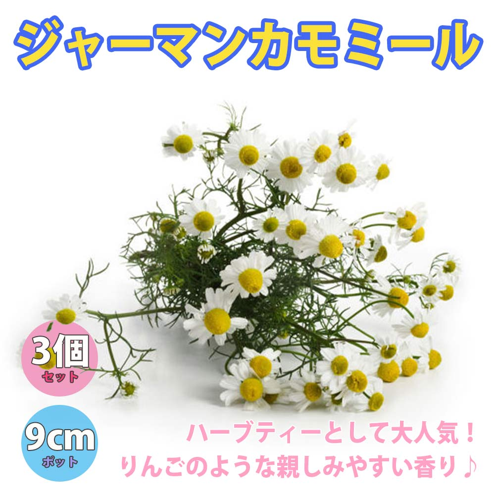 ジャーマンカモミール【ハーブ苗9cmポット/3個セット】【送料無料】