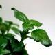 【送料無料】ルンギア クロッシー 10.5cm 2個セット【おうちで簡単!育てやすい10.5cmポットハーブ苗シリーズ!】根張り・大きさ・選別が良いので、育てやすい!生育簡単で初心者にもオススメのハーブシリーズです!ガーデニングや家庭菜園に!