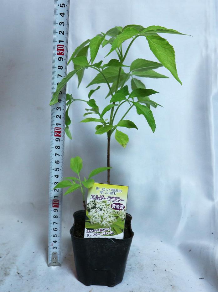 エルダーベリー黄金葉 実も食べれるハーブ/お庭のシンボルツリーにもなる花木苗9cmポット【2個セット】【品種で選べるハーブ苗】【即出荷/送料無料】