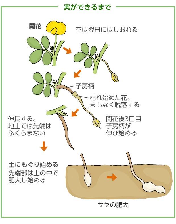 """落花生の種子""""ファスティガータ ピンストライプ""""【約20粒】種が大きいので簡単に蒔けます!(送料無料)"""