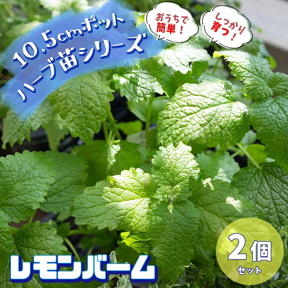 【送料無料】レモンバーム 10.5cm 2個セット【おうちで簡単!育てやすい10.5cmポットハーブ苗シリーズ!】根張り・大きさ・選別が良いので、育てやすい!生育簡単で初心者にもオススメのハーブシリーズです!ガーデニングや家庭菜園に!