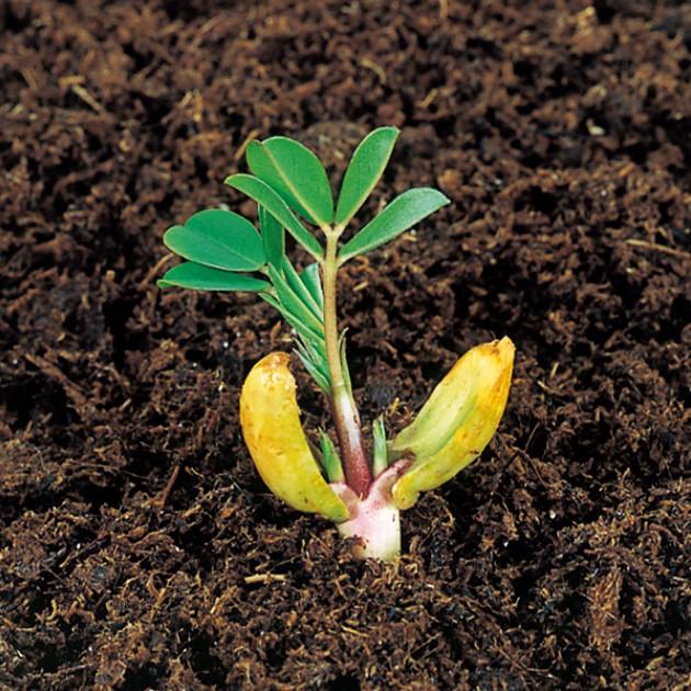 """落花生の種子""""ホワイトバレンシア""""【約20粒】種が大きいので簡単に蒔けます!(送料無料)"""