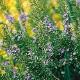 ローズマリー トスカーナブルー(立性)【ハーブ苗9cmポット/3個セット】【送料無料】