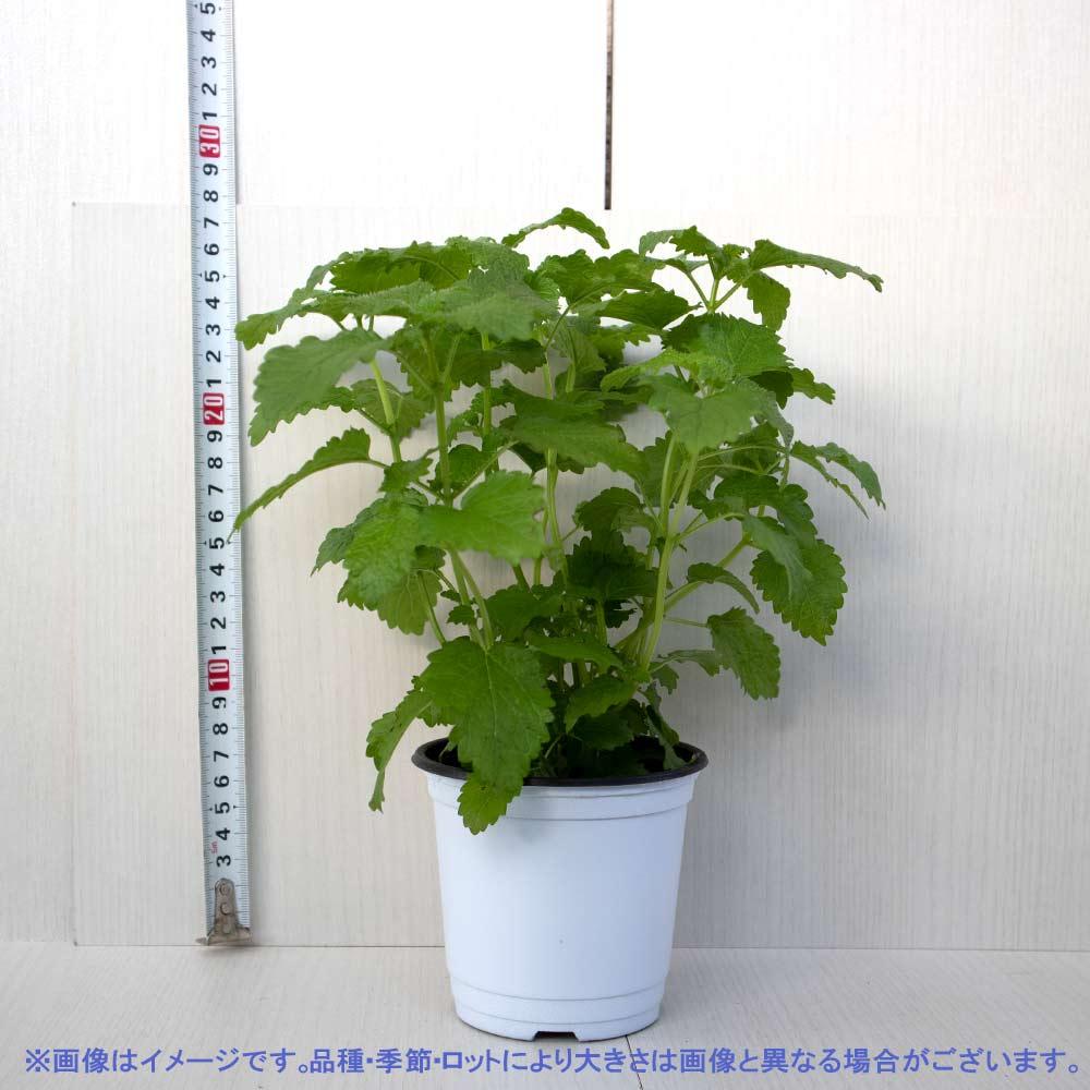 【送料無料】レモンバーム 10.5cm 4個セット【おうちで簡単!育てやすい10.5cmポットハーブ苗シリーズ!】根張り・大きさ・選別が良いので、育てやすい!生育簡単で初心者にもオススメのハーブシリーズです!ガーデニングや家庭菜園に!