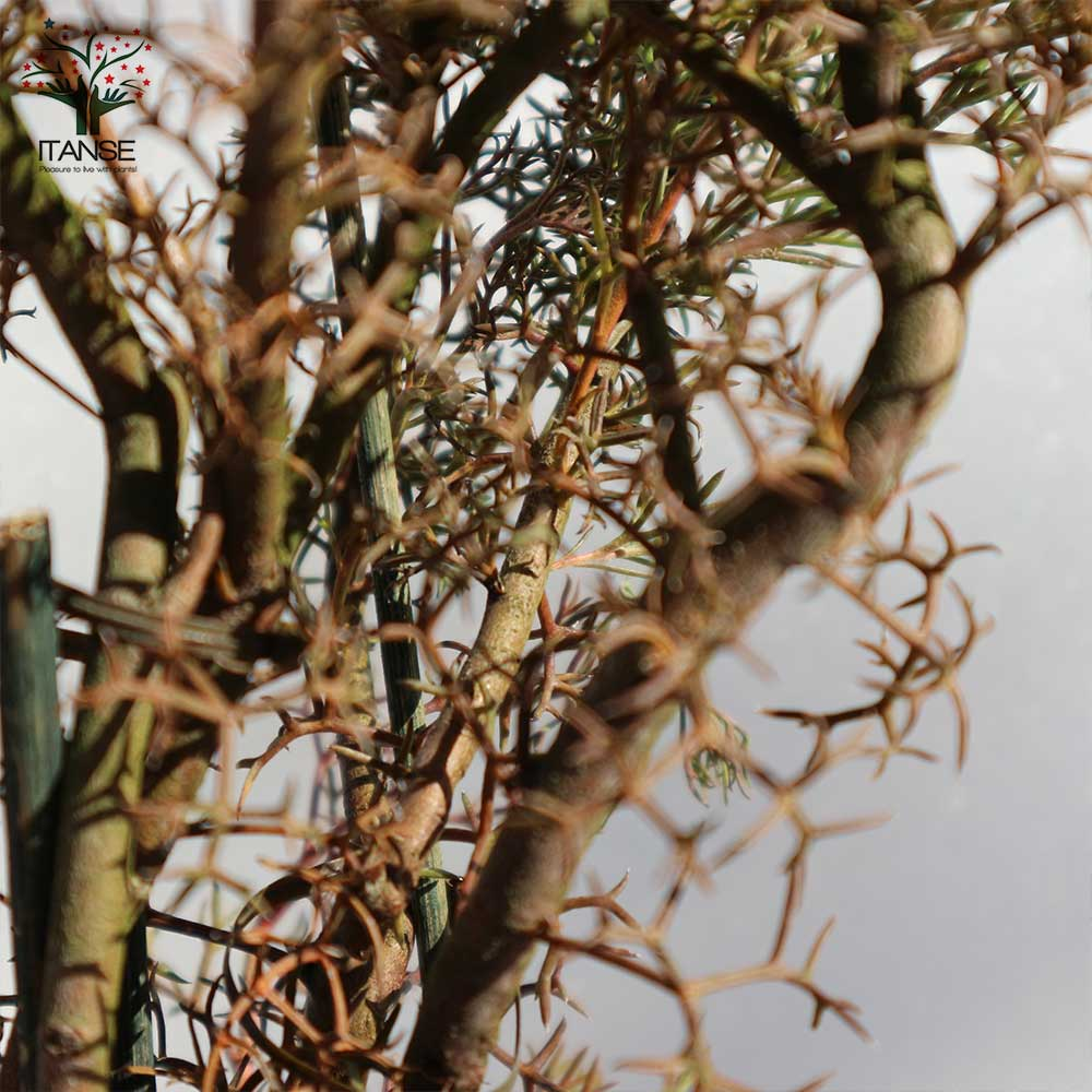【送料無料】イソポゴン ローズコーン【花木 18cmポット大苗  /1個売り】イソポゴン ローズコーン 花木 苗木 苗 庭木 植木 ドラムスティックフラワー 花 お香 シャンプー エッセンシャルオイル 花木 植木 インテリア