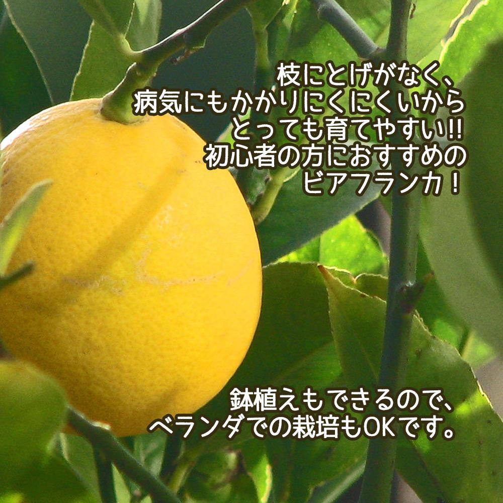 """大実レモン「ビアフランカ」 栽培しやすい""""とげ無しレモン""""【果樹苗9cmポット/2個セット】【秋が植え時/即出荷!送料込み価格!】"""