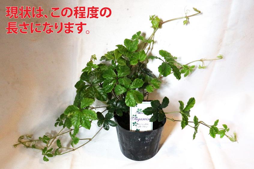 パーセノシッサス シュガーバイン 9cmPOT 【送料無料】