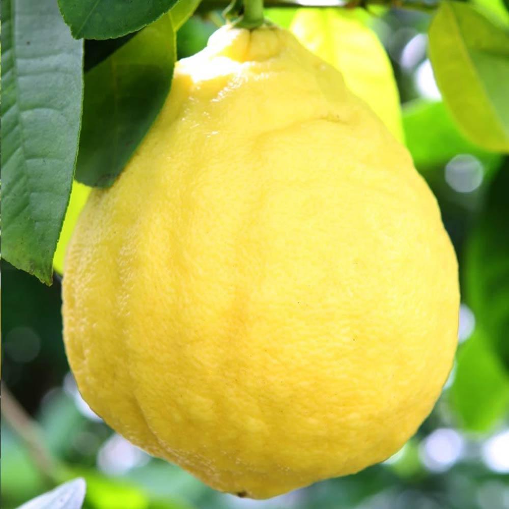 超ジャンボレモン ポンテローザ【果樹苗9cmポット/2個セット】【送料無料】【秋が植え時即出荷!送料込み価格!】