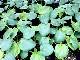"""野菜種子!""""丸莢白オクラ""""【約50粒】種が比較的大きいので簡単に蒔けます!(送料無料)"""