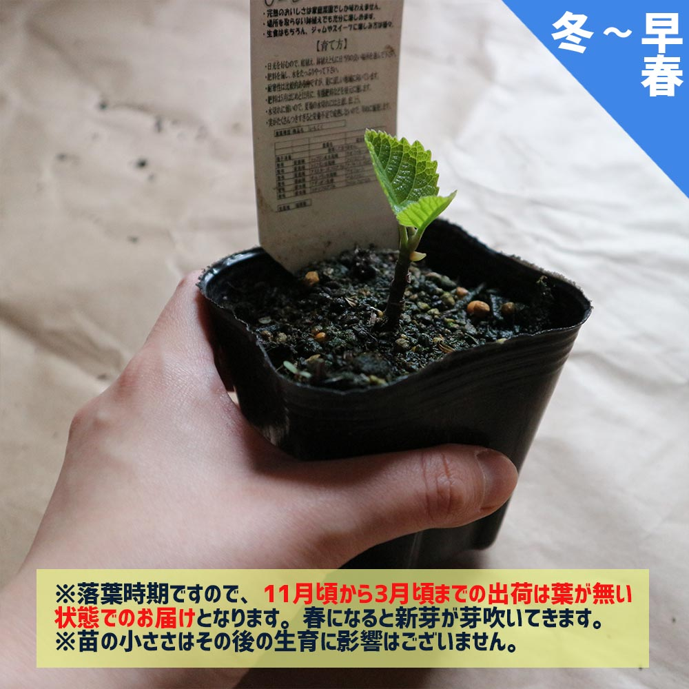 ミニイチジク イスラエル【ミニ果樹苗9cmポット/2個セット即納】【送料無料】