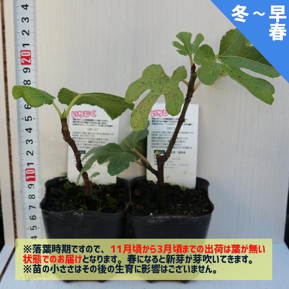 ミニイチジク ビファーレ【ミニ果樹苗9cmポット/2個セット即納】【送料無料】