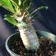 パキポディウム・サンデルシー 【送料無料】【4寸鉢/1鉢/地上部高さ約13cm】白肌が美しく育てやすい強健品種