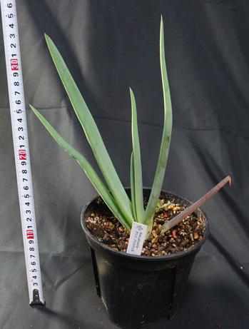 アロエ・プリカティリス【送料無料】【5寸鉢/1鉢/地上部高さ約24cm】育てやすさと美しさが人気植物