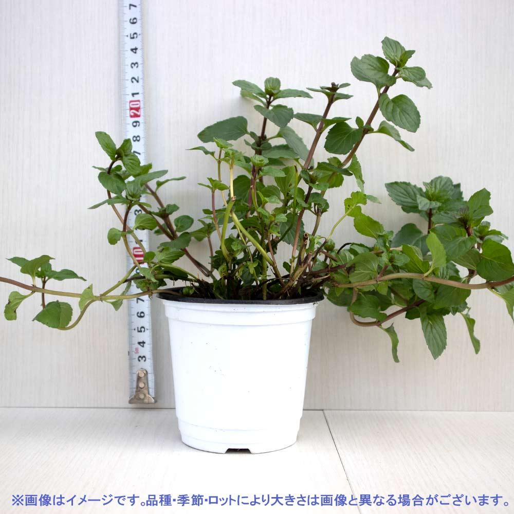 【送料無料】アフターエイトミント 10.5cm 4個セット【おうちで簡単!育てやすい10.5cmポットハーブ苗シリーズ!】根張り・大きさ・選別が良いので、育てやすい!生育簡単で初心者にもオススメのハーブシリーズです!ガーデニングや家庭菜園に!