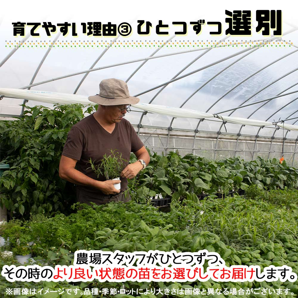 【送料無料】オーデコロンミント 10.5cm 4個セット【おうちで簡単!育てやすい10.5cmポットハーブ苗シリーズ!】根張り・大きさ・選別が良いので、育てやすい!生育簡単で初心者にもオススメのハーブシリーズです!ガーデニングや家庭菜園に!