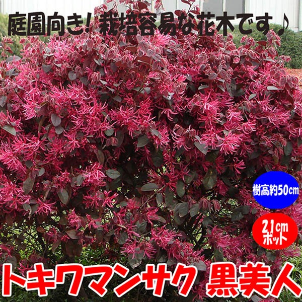 トキワマンサク 黒美人:庭園向き花木 21cmポット:樹高約50cm  【送料込み価格】【九州圃場より直送】