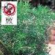 【送料無料】蚊よらず(アルテメシア サザンウッド)【ハーブ苗 9cmポット/3個セット】蚊よらず苗 虫除けの苗 虫除けのハーブ 蚊よらずの苗 虫よけハーブ 天然ハーブ 蚊対策 虫対策 忌避 ガーデニング 鑑賞 栽培 庭園菜園 ベランダ 芝生 花壇