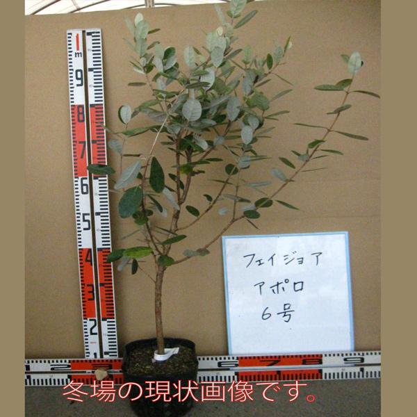 フェイジョア アポロ:花も美しい庭園向き果樹 18cmポット:樹高約60cm  【送料込み価格】【九州圃場より直送】