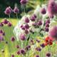 【送料無料】アリウム スファエロセファロン(丹頂) 【花球根   /お買い得10球セット】球根 花球根 花の球根  寄せ植え ガーデニング 鑑賞 栽培 庭園菜園