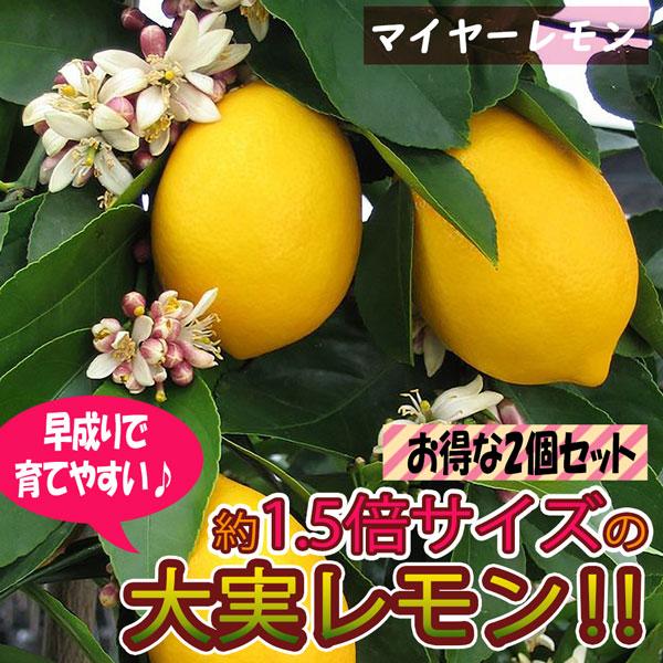 【送料無料】早成り大実レモン(育てやすく寒さに強いマイヤーレモン)【果樹苗9cmポット/2個セット】