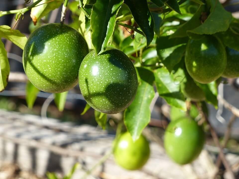 珍しい果物種子!!「イエローパッションフルーツ」花も実も楽しめる!! (約20粒/発芽率55%)【即出荷/送料無料】