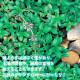 【送料無料】アリよらずハーブ(ペニーロイヤルミント)【ハーブ苗 9cmポット/お買い得9個セット】ありよらず苗 アリよらずの苗 ペニーロイヤルミントの苗 メグサハッカ 蟻よらず 虫対策 虫除けのハーブ 天然ハーブ 忌避 ガーデニング 鑑賞 栽培 庭園菜園 芝生 花壇