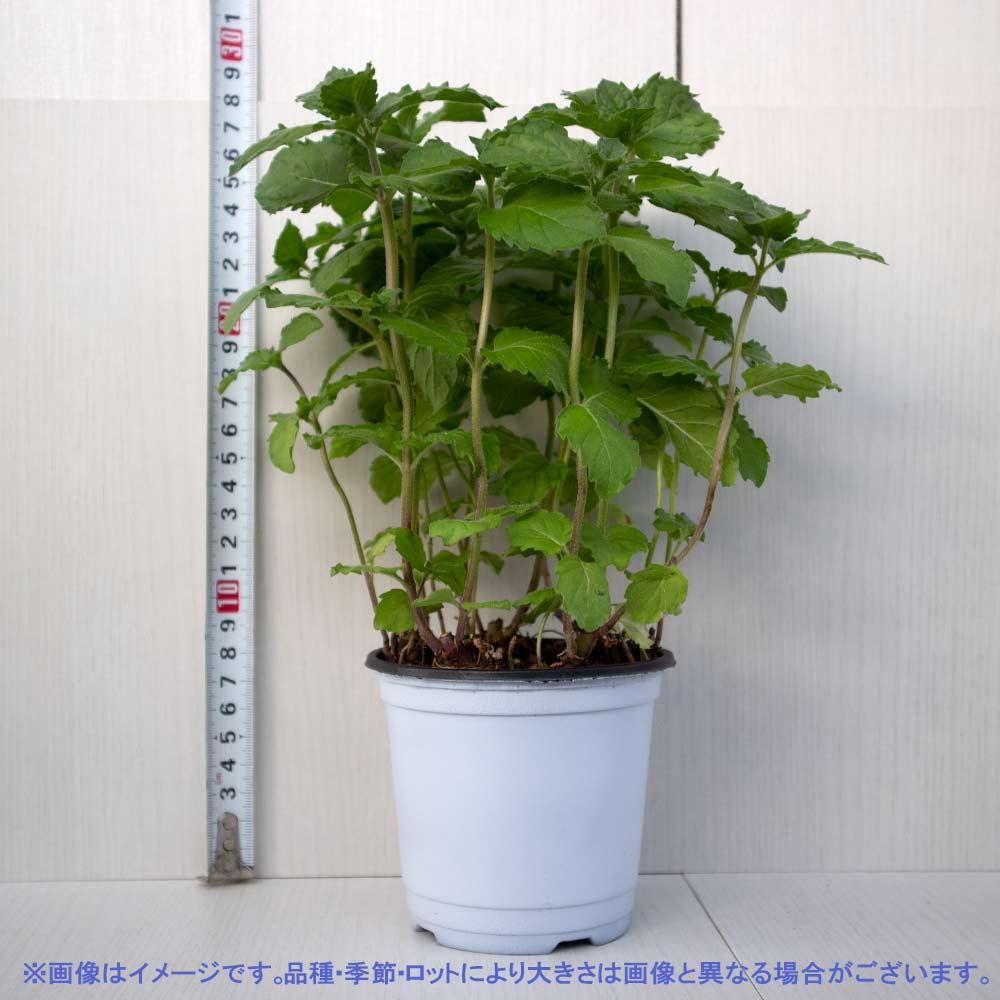 【送料無料】グレープフルーツミント 10.5cm 2個セット【おうちで簡単!育てやすい10.5cmポットハーブ苗シリーズ!】根張り・大きさ・選別が良いので、育てやすい!生育簡単で初心者にもオススメのハーブシリーズです!ガーデニングや家庭菜園に!