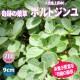 「ボルトジンユ」(人気上昇中の健康ハーブ)ハーブ9cmポット苗【2個セット】【即出荷!送料込み価格】