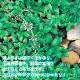 【送料無料】アリよらずハーブ(ペニーロイヤルミント)【ハーブ苗 9cmポット/3個セット】ありよらず苗 アリよらずの苗 ペニーロイヤルミントの苗 メグサハッカ 蟻よらず 虫対策 虫除けのハーブ 天然ハーブ 忌避 ガーデニング 鑑賞 栽培 庭園菜園 芝生 花壇
