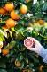 「ブラッド オレンジ(希少品種 柑橘苗)」【果樹接木苗15cmポット大苗/1本】【ポット苗なので年中植付け可能!!即出荷!!送料込み価格!】