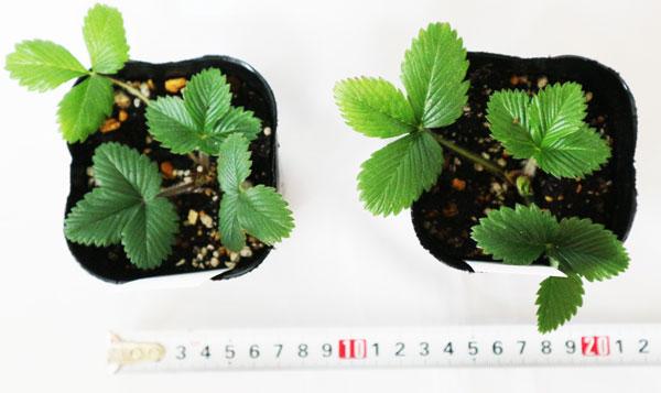 「ワイルドストロベリー赤実」9cmポット苗【2個セット】【寒さに強く簡単に育つ野イチゴ 赤実品種/ポット苗なので年中植付けOK!】【即出荷!送料込み価格】