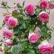 【送料無料】薔薇 つるバラ ピエールドロンサール【花苗 6号ポット  /1個売り】バラ苗 バラの苗 薔薇苗 薔薇の苗 花苗 花の苗 ローズガーデン イングリッシュガーデン rose バラ園 フラワーガーデン