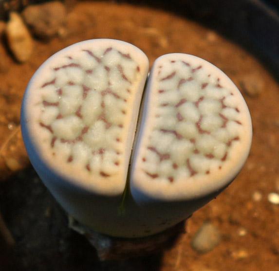 """リトープス""""クリスチナエ"""" コールナンバー付き現品/品番1(Lithops schwantesii v.christinae CO74)【多肉メセン6cm鉢/1個】【送料無料/即出荷】"""