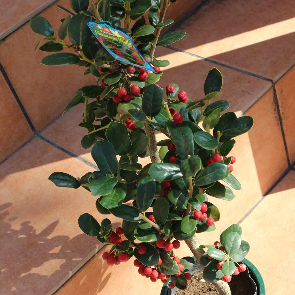 【送料無料】観葉植物 クリスマスホーリー(とげ無しタイプ)【庭木 5号鉢 /1個売り】観葉植物 リビング オフィス 事務所 インテリア 大型 おしゃれ オシャレ 育てやすい 御祝 お祝い 新築祝い プレゼント