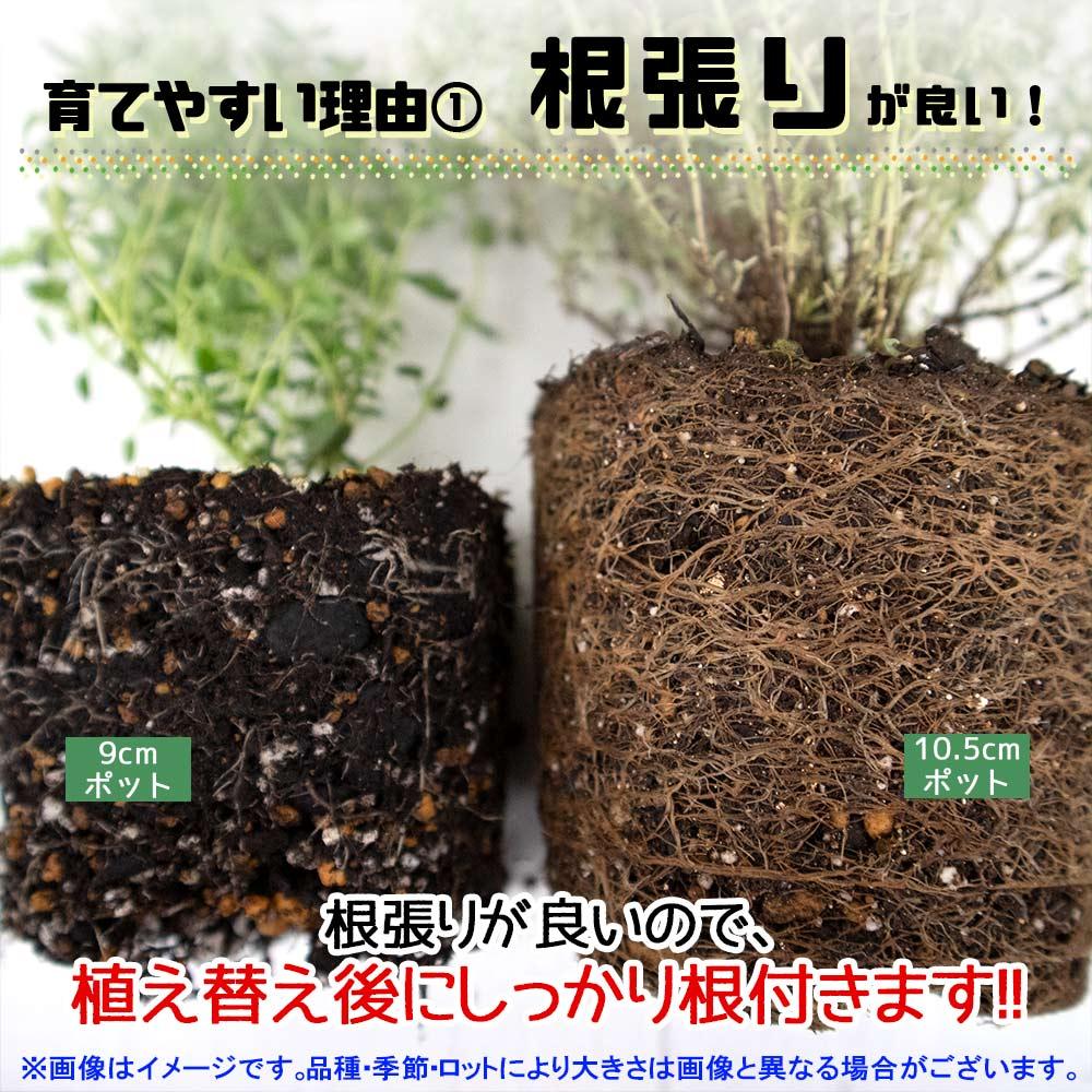 【送料無料】タイミント 10.5cm 2個セット【おうちで簡単!育てやすい10.5cmポットハーブ苗シリーズ!】根張り・大きさ・選別が良いので、育てやすい!生育簡単で初心者にもオススメのハーブシリーズです!ガーデニングや家庭菜園に!