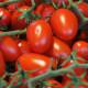 【送料無料・即出荷】ミニトマトの苗 アイコ 高糖度・育てやすい【野菜の苗 10.5cmポット  自根苗/お買い得16個セット】トマト苗 とまと苗 ミニトマト苗 トマトの苗 とまとの苗 プチトマト ガーデニング 家庭菜園  プランター菜園 ベランダ菜園