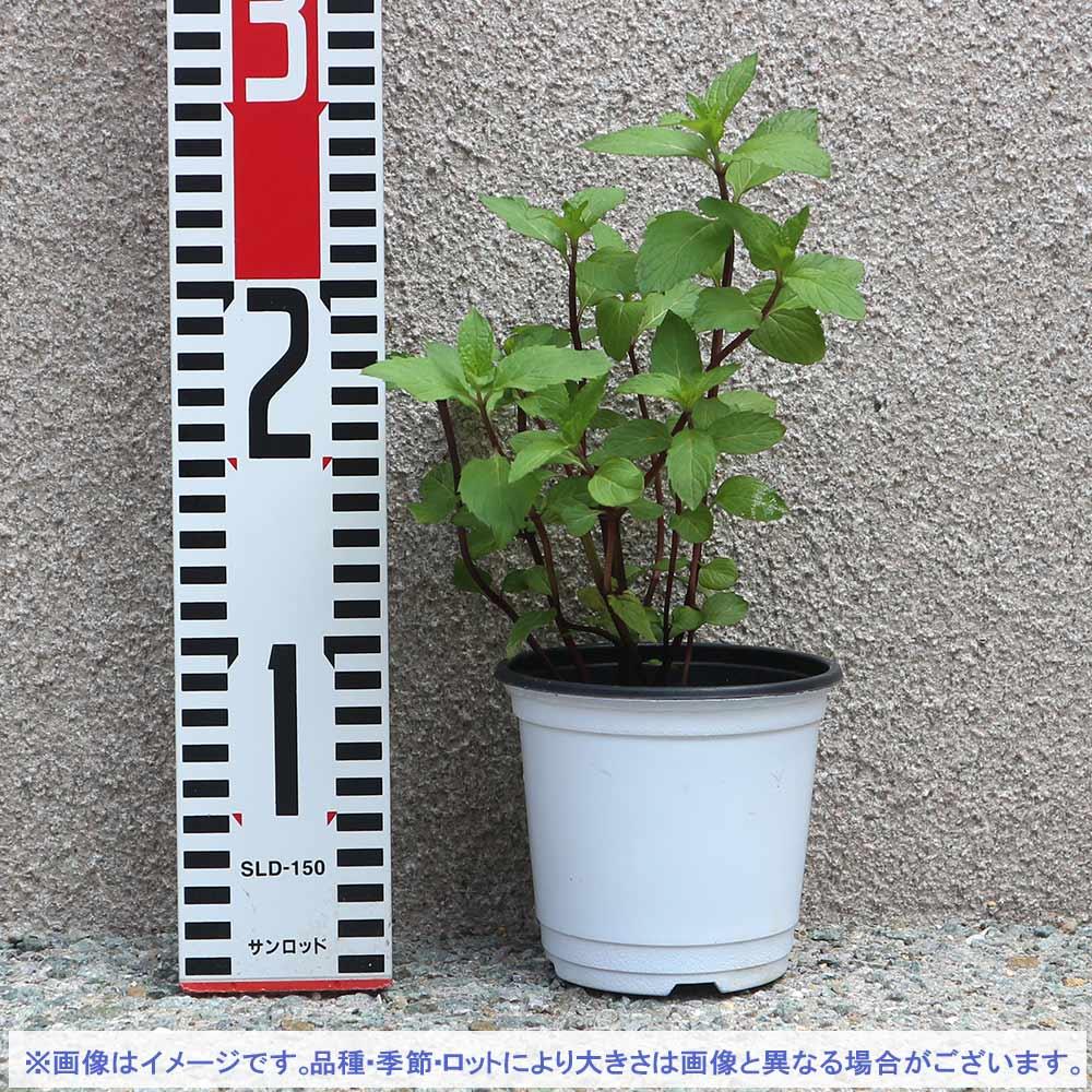 【送料無料】タイミント 10.5cm 4個セット【おうちで簡単!育てやすい10.5cmポットハーブ苗シリーズ!】根張り・大きさ・選別が良いので、育てやすい!生育簡単で初心者にもオススメのハーブシリーズです!ガーデニングや家庭菜園に!