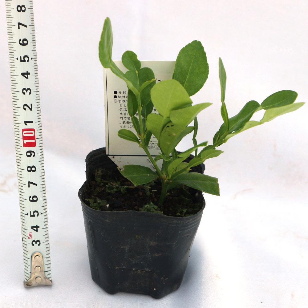 【送料無料】コブミカン (タイ料理には欠かせない)【果樹苗 9cmポット/2個セット/挿し木苗または実生苗/出荷タイミングにより挿し木苗か実生苗になります。ご指定はできません】コブミカン苗 カフィアライム 柑橘苗 柑橘類 柑橘系 ヒストリックス シトラス ガーデニング 家庭