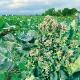 【送料無料】すずなりブロッコリー【野菜苗 15cmポット/2個セット】ブロッコリー苗 ブロッコリーの苗 ぶろっこりー ベランダ プランター コンテナ 鉢植え 露地植え 家庭菜園 ガーデニング 簡単 栽培 多収穫 大苗 ビタミC カロテン 人気野菜 葉菜