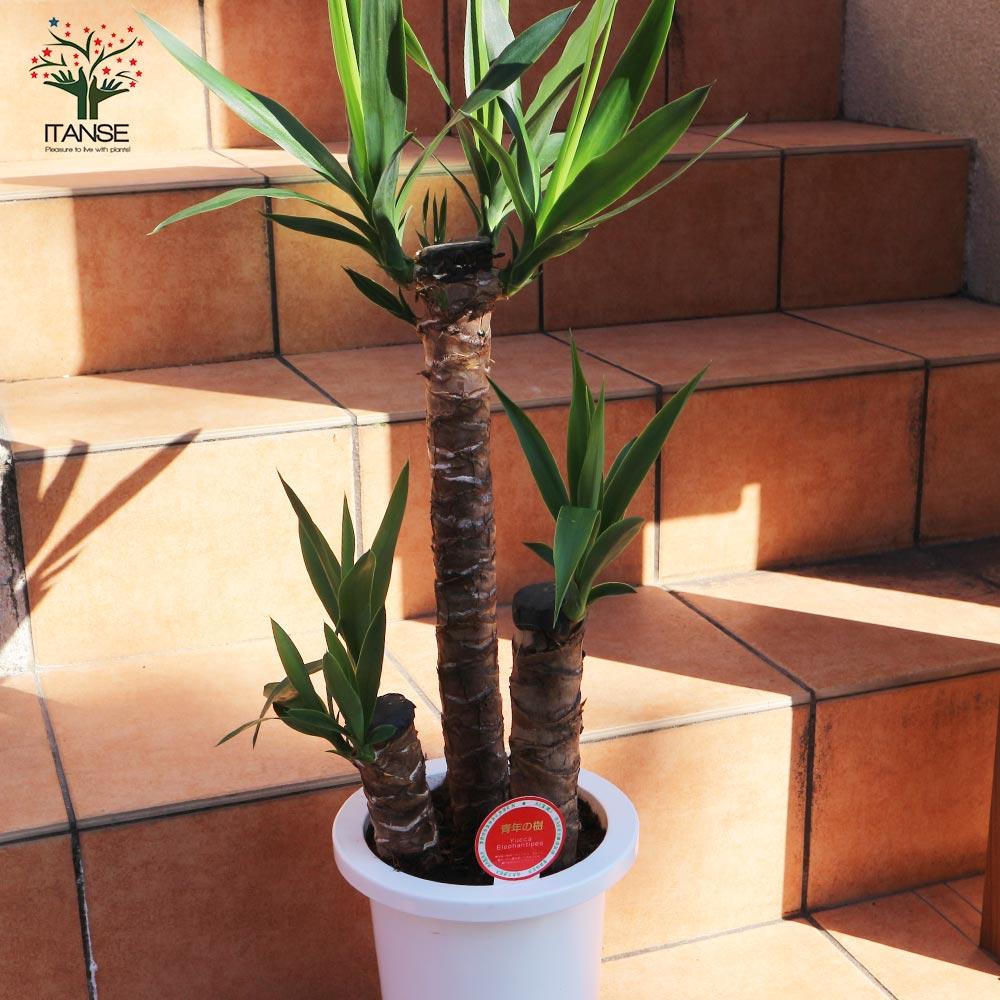 【送料無料】観葉植物 ユッカ(青年の木)【観葉植物 7号プラスチック鉢 /1個売り】観葉植物 リビング オフィス 事務所 インテリア 大型 おしゃれ オシャレ 育てやすい 御祝 お祝い 新築祝い プレゼント