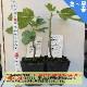 ミニイチジク アーチペル【ミニ果樹苗9cmポット/2個セット即納】【送料無料】
